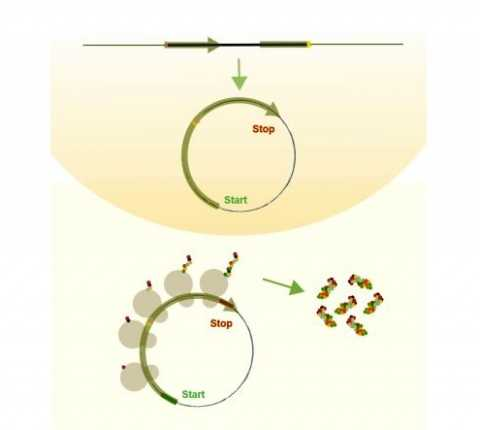 New study shows circular RNA can encode for proteins