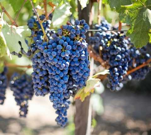 Winemaking Degree: Hebrew University Launches Israel's First Academic Degree Program in Viticulture and Enology