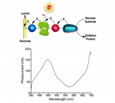 New Method for Converting Solar Energy into Electrical Power Using Photo-bioelectrochemical Cells